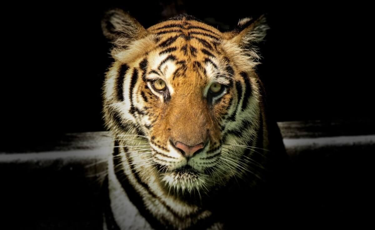Inbeslagname van bijna 70 grote katten uit Tiger King Park