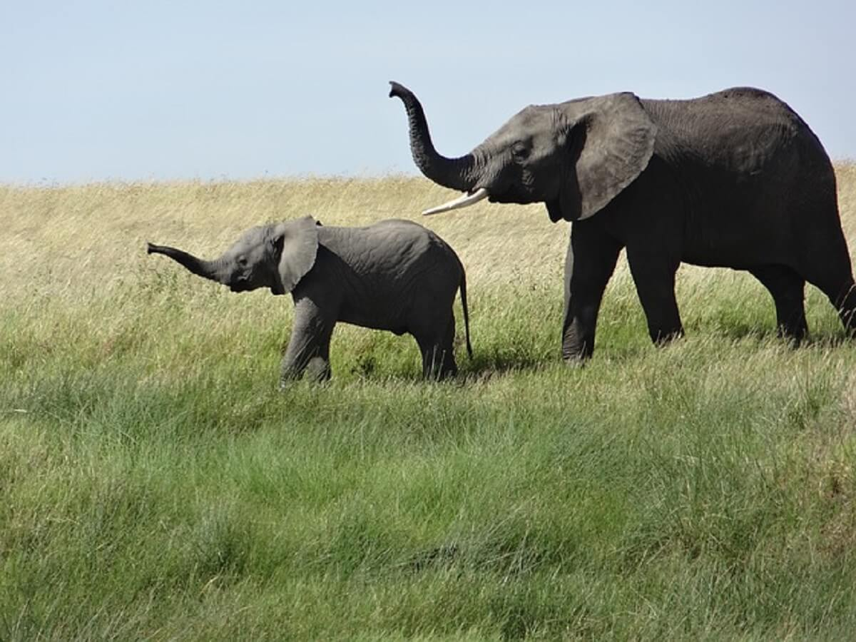 Recordaantal olifanten geboren in Kenia