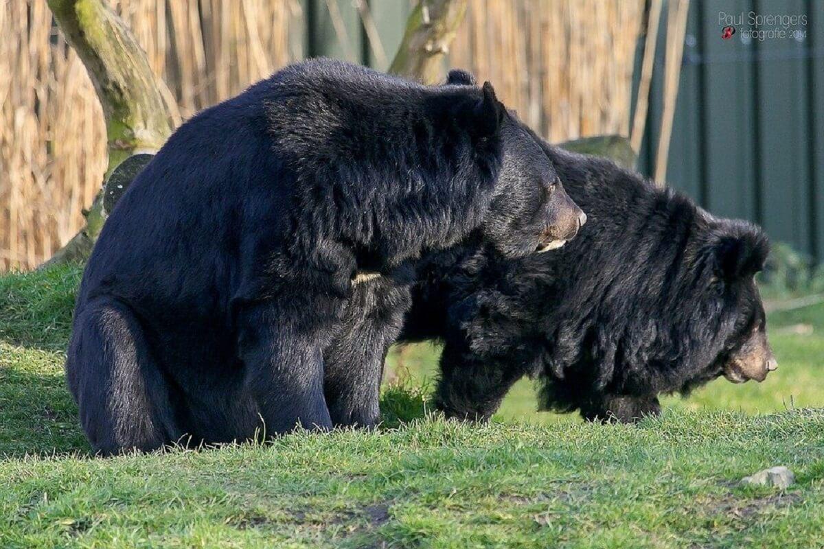Aziatische zwarte beren in gevangenschap