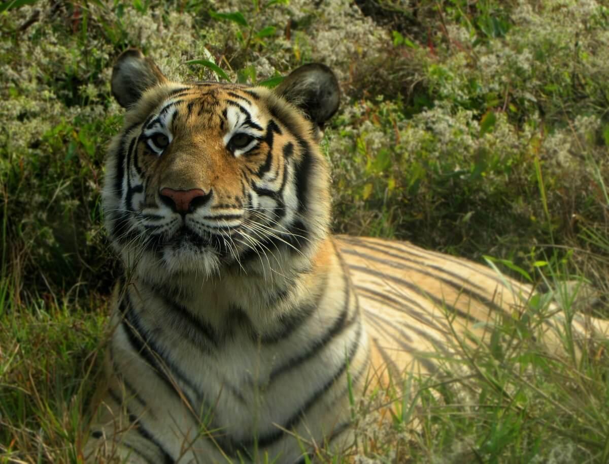 Stroper na 70 moorden op Bengaalse tijgers eindelijk opgepakt