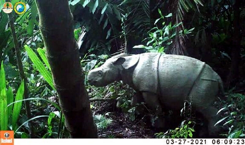 Twee zeer bedreigde Javaanse neushoornkalfjes geboren