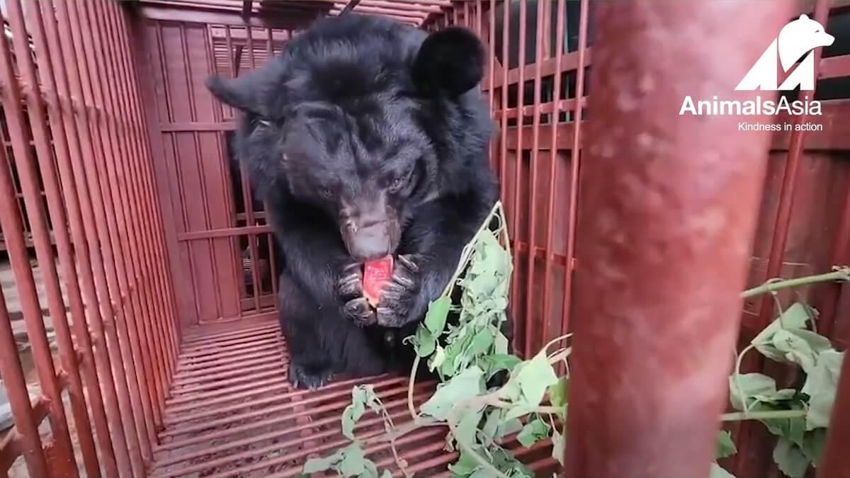 101 Aziatische zwarte beren gered