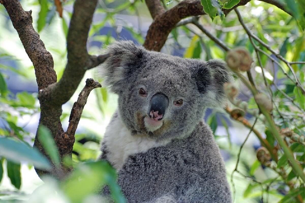 Koala op lijst bedreigde Australische diersoorten