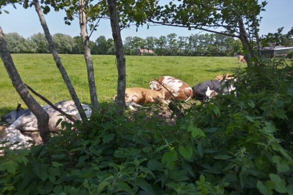 nog steeds geen hitteplan voor vee-industrie