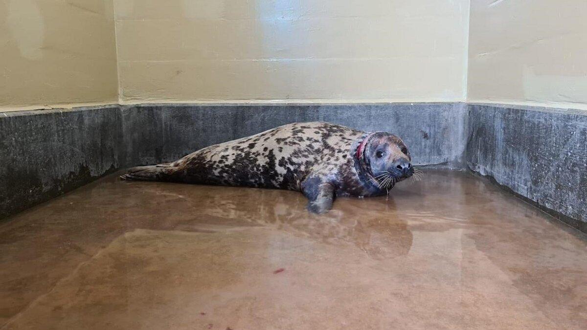 Zeehond komt vrij na ruim 2 jaar plastic ring om nek
