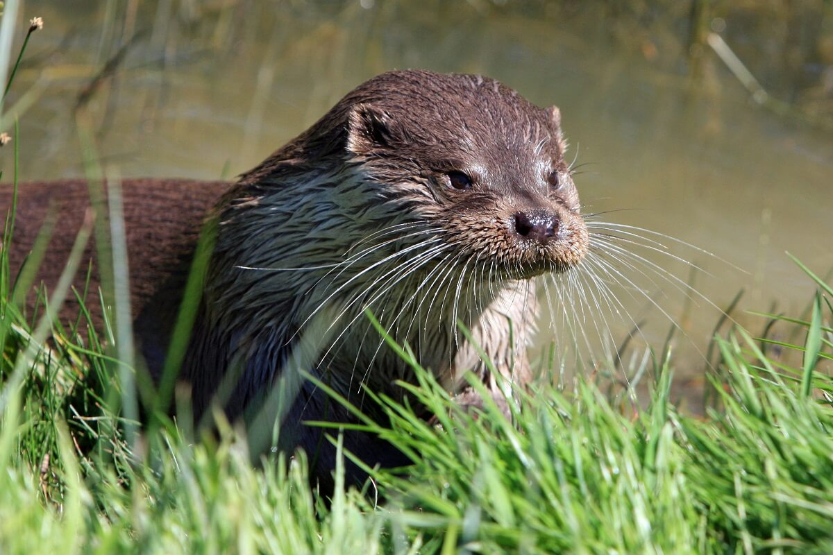 otter terug in Amsterdam