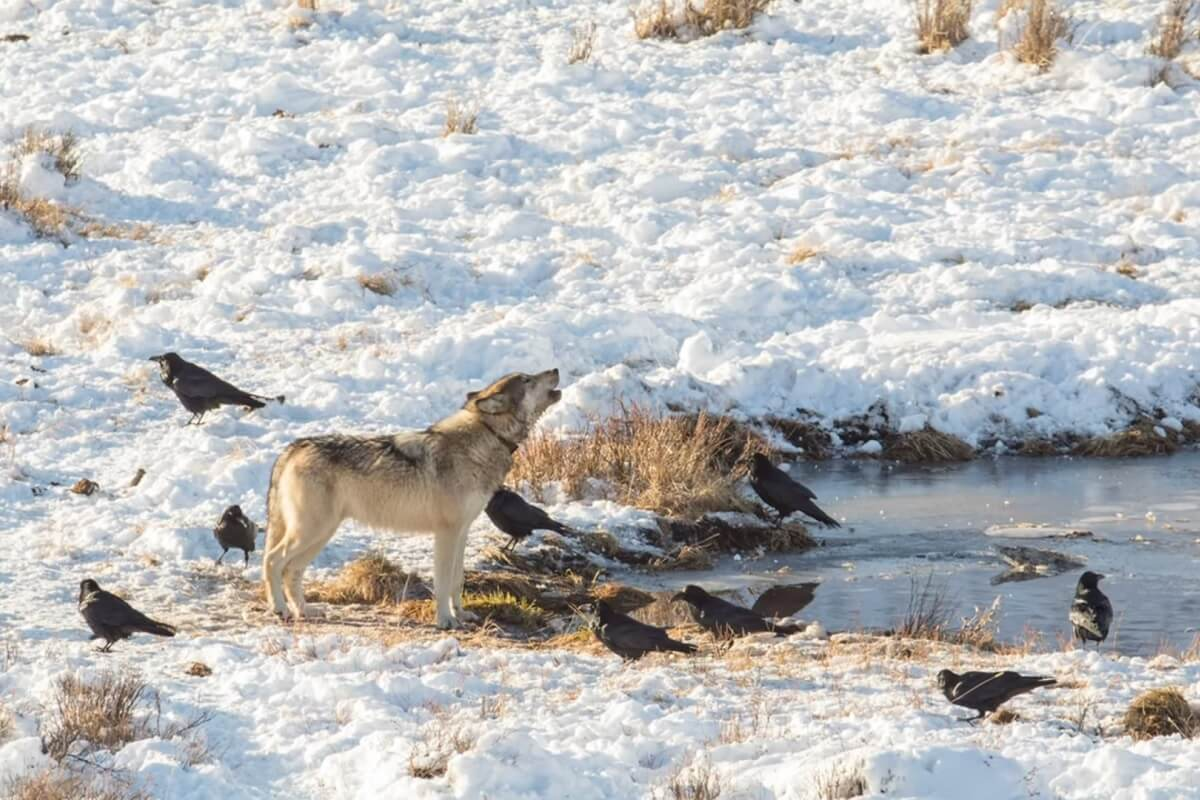 Raven en wolven werken samen