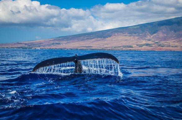 dwergvinvissen