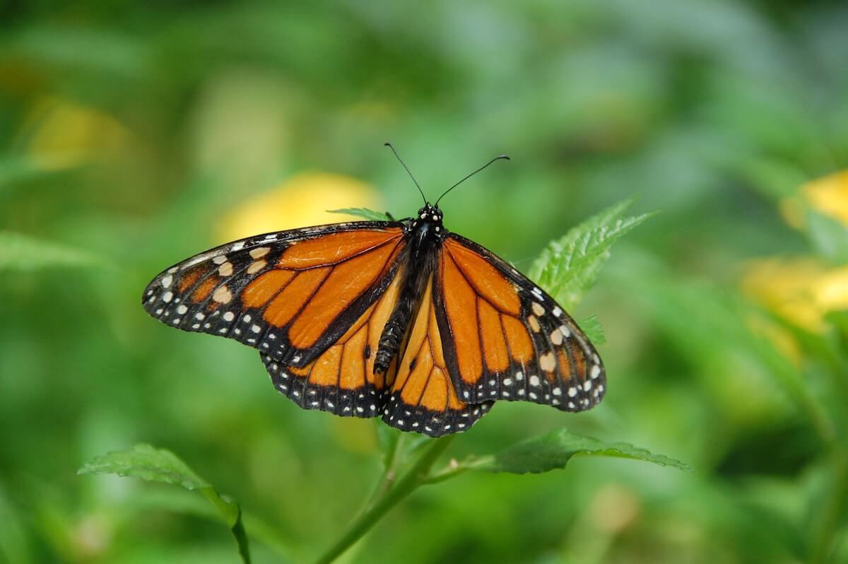 vlinderexplosie