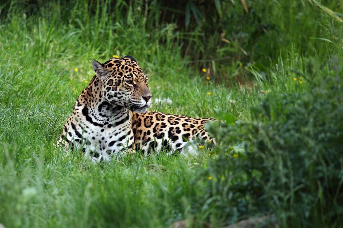 Het gaat niet goed met de jaguar