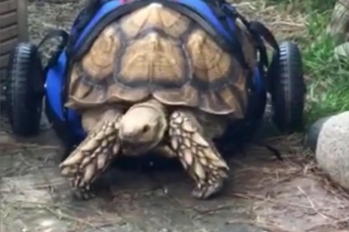 Schildpad die zich vooruit sleepte krijgt rolstoel
