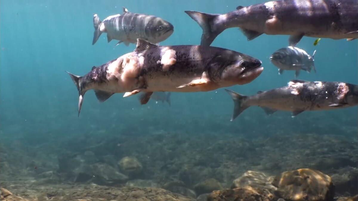 Zalmen levend gekookt in rivieren door hittegolf VS
