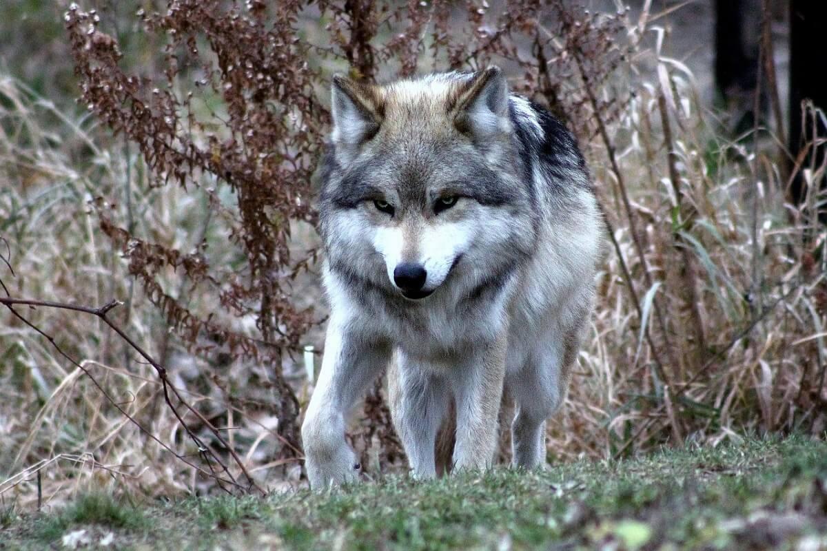 recordaantal Mexicaanse wolvenpups naar het wild