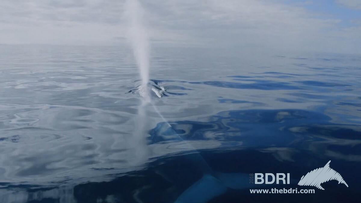 Blauwe vinvis na 40 jaar terug voor Spaanse Atlantische kust