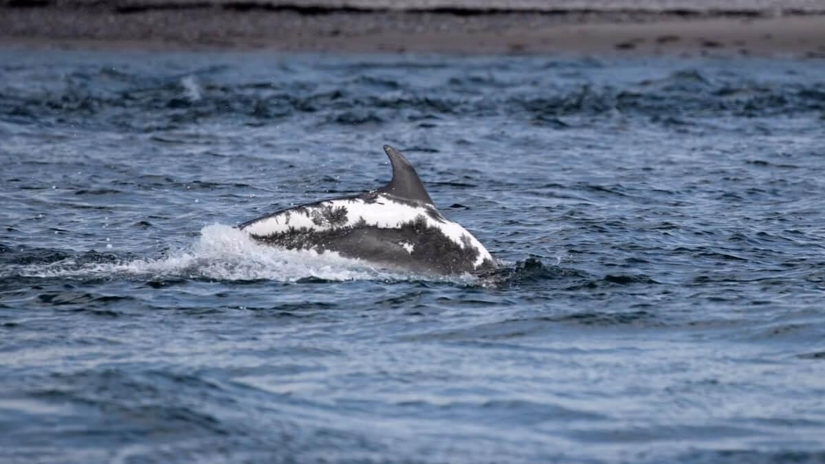 dolfijn Spirtle