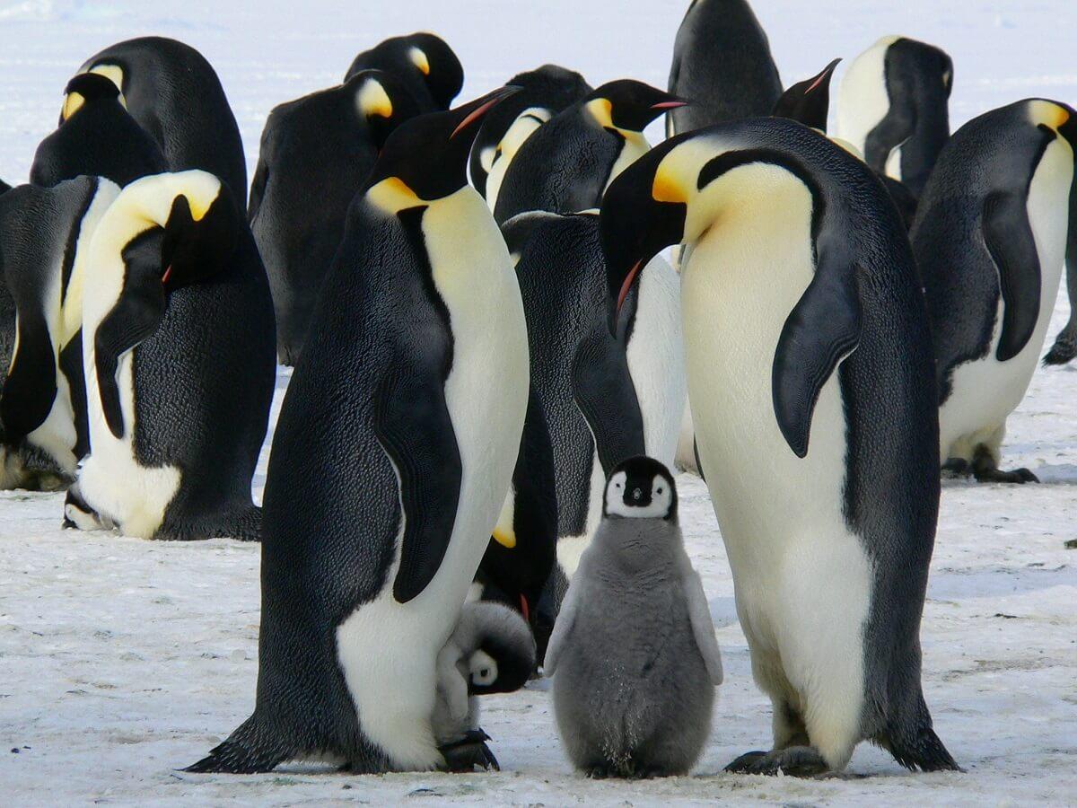 Keizerspinguïn mogelijk over 80 jaar uitgestorven