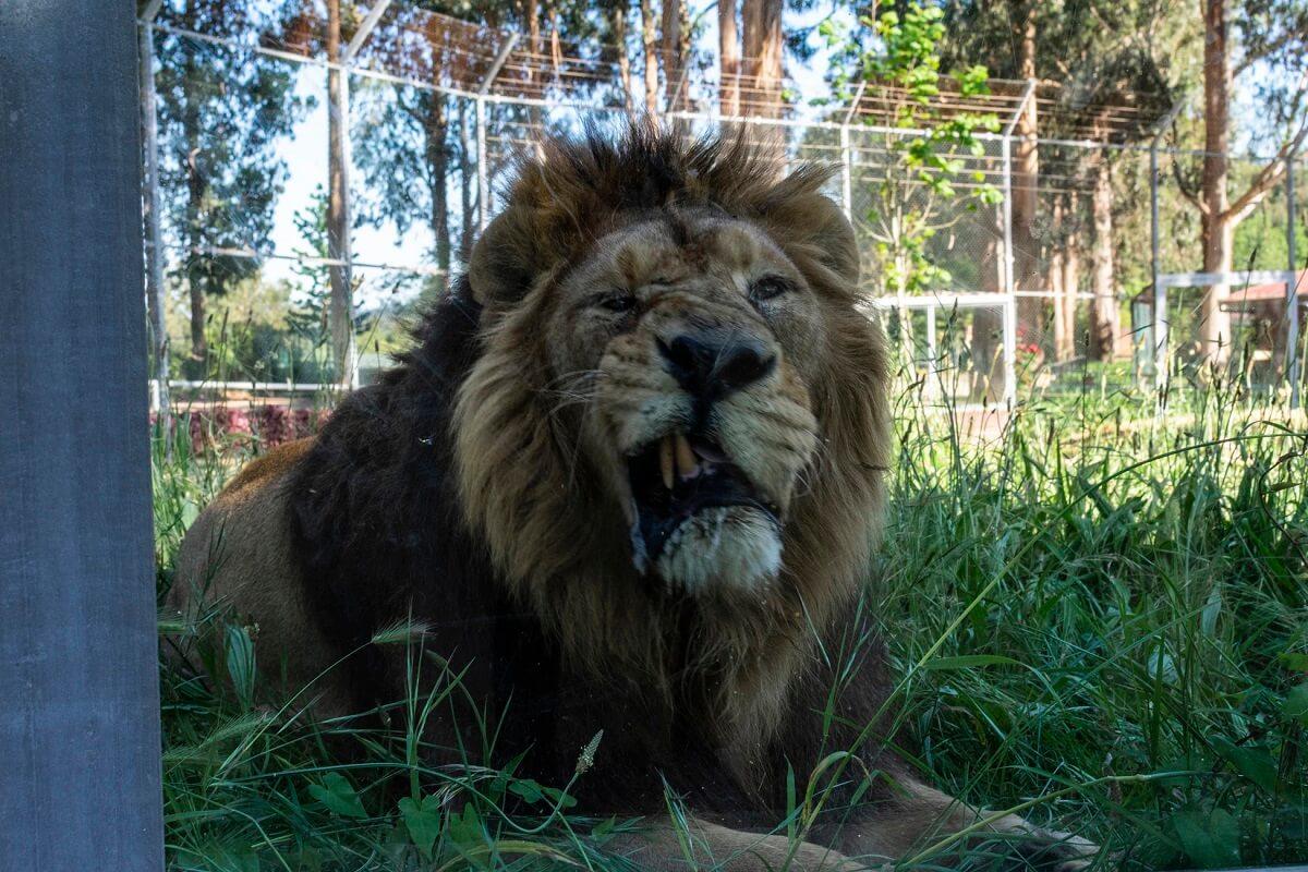 Einde commerciële leeuwenfokkerijen Zuid-Afrika nabij