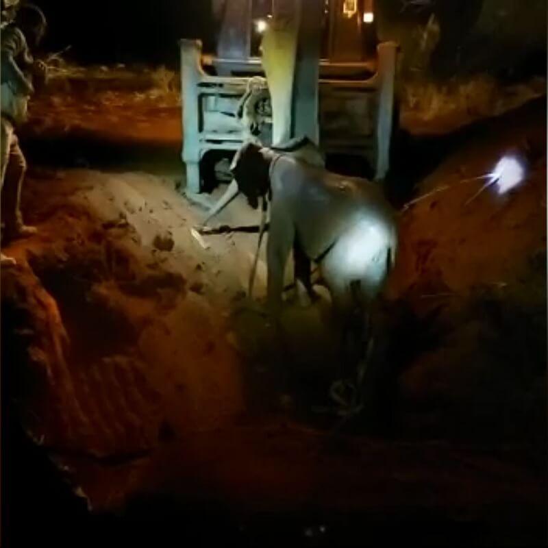 Olifant en haar kalf gered uit beerput