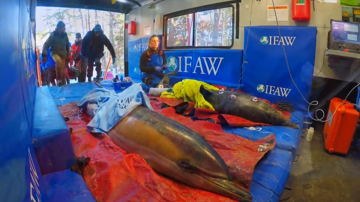Vijf gestrande dolfijnen gered en vrijgelaten in VS