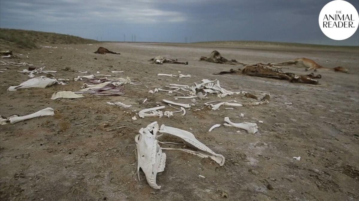 sterfte dieren door droogte Kazachstan