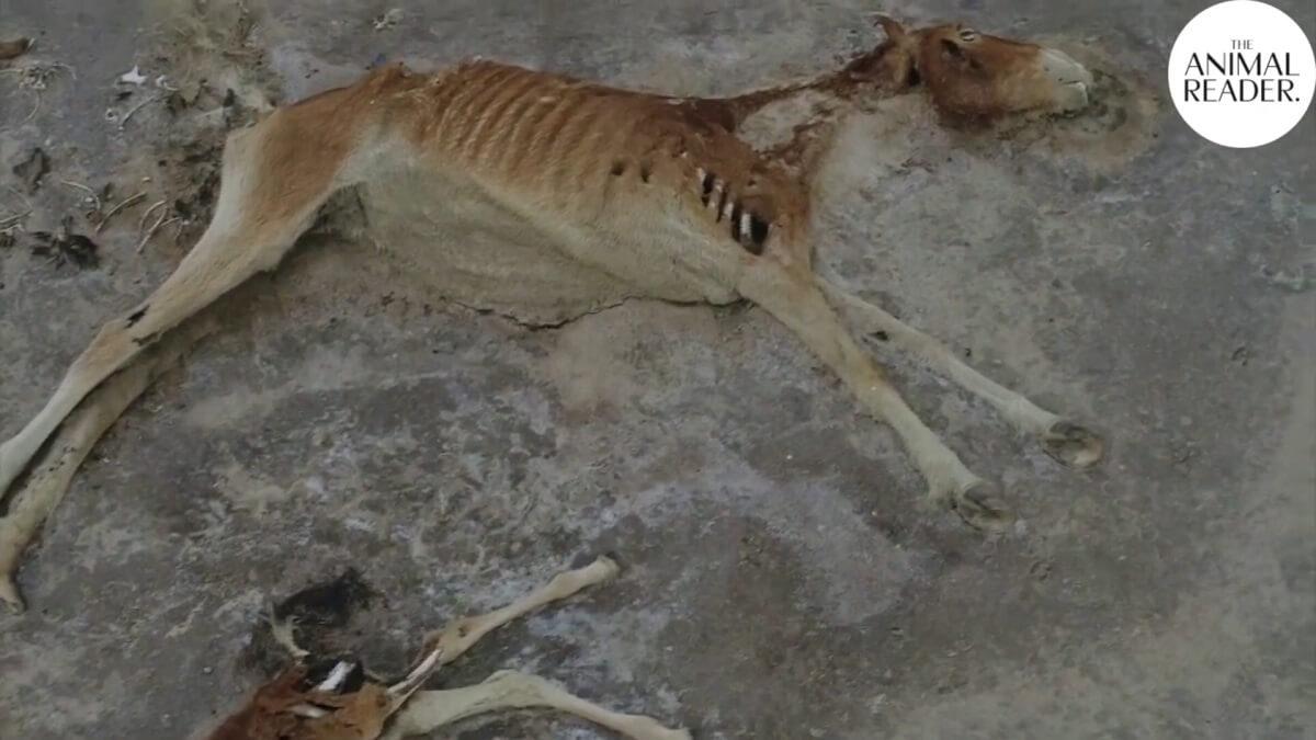 gestorven paarden door droogte Kazachstan