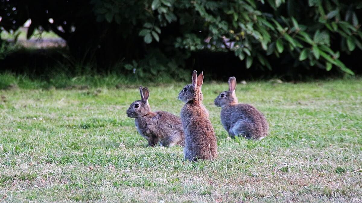 Jacht op konijnen en eenden geopend