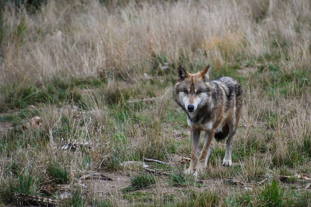 Nationaal Park De Hoge Veluwe ontdekt door wolf