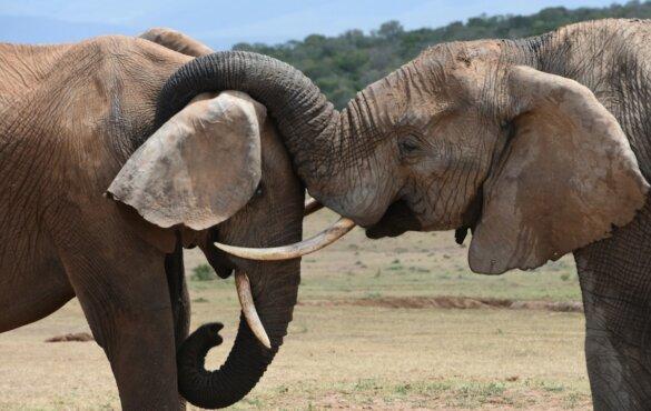 57 levende olifanten