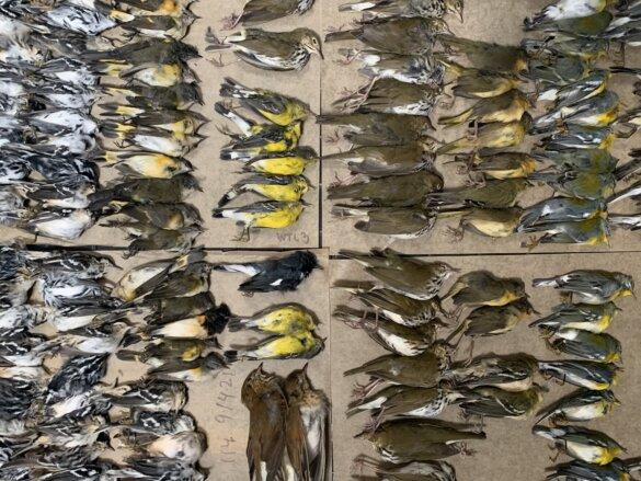 migrerende vogels