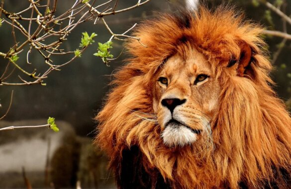 leeuwenklauwen