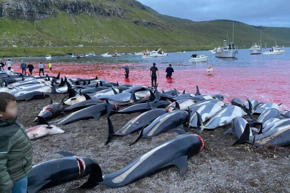 1428 dolfijnen vermoord op Faeröer-eilanden