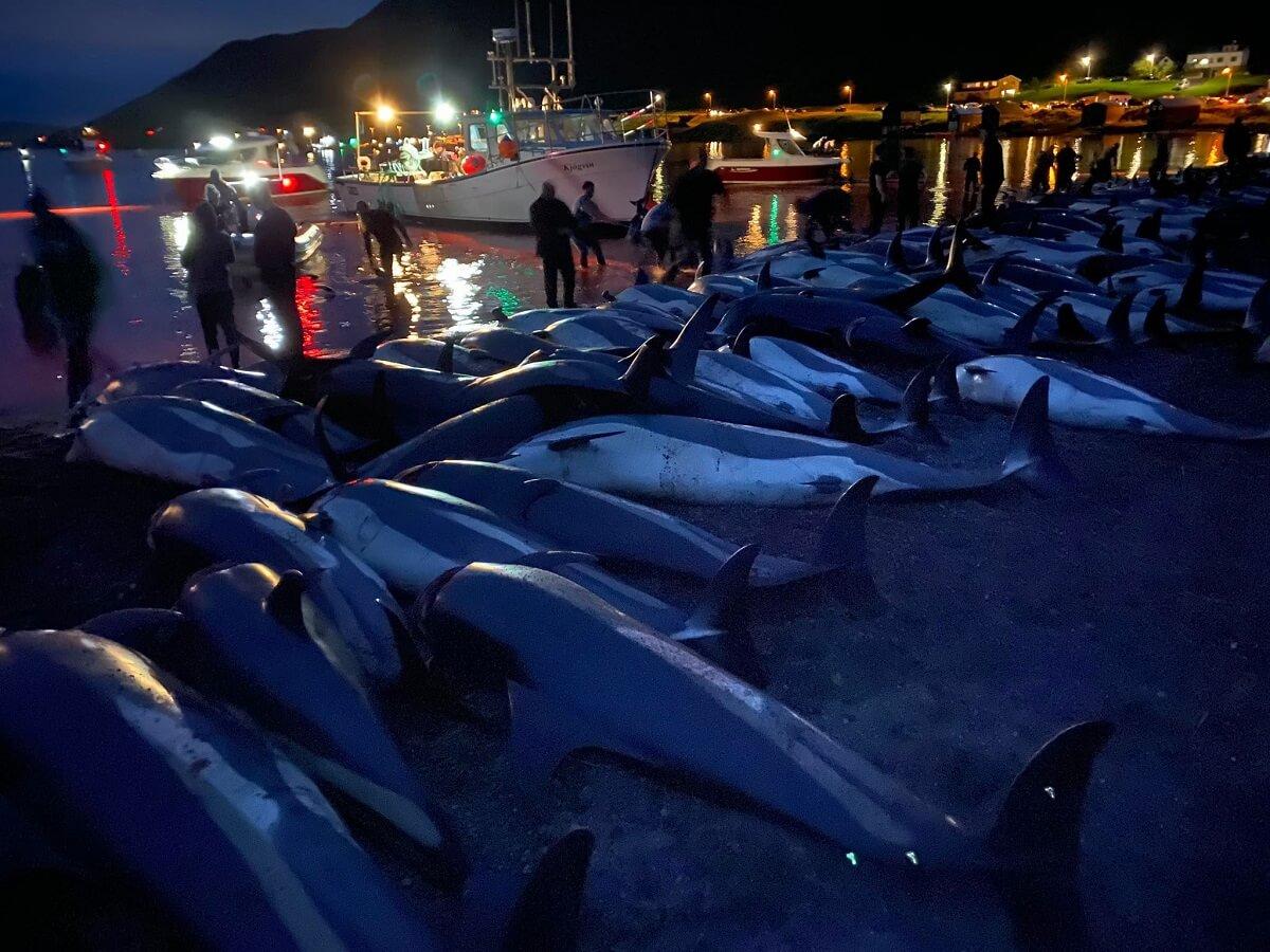 Barbaren op de Faeröer-eilanden doden 1428 dolfijnen