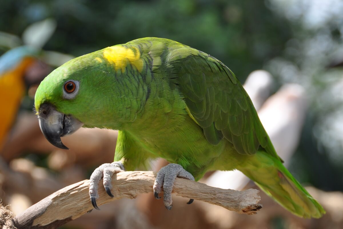 Geelnekamazone papegaai