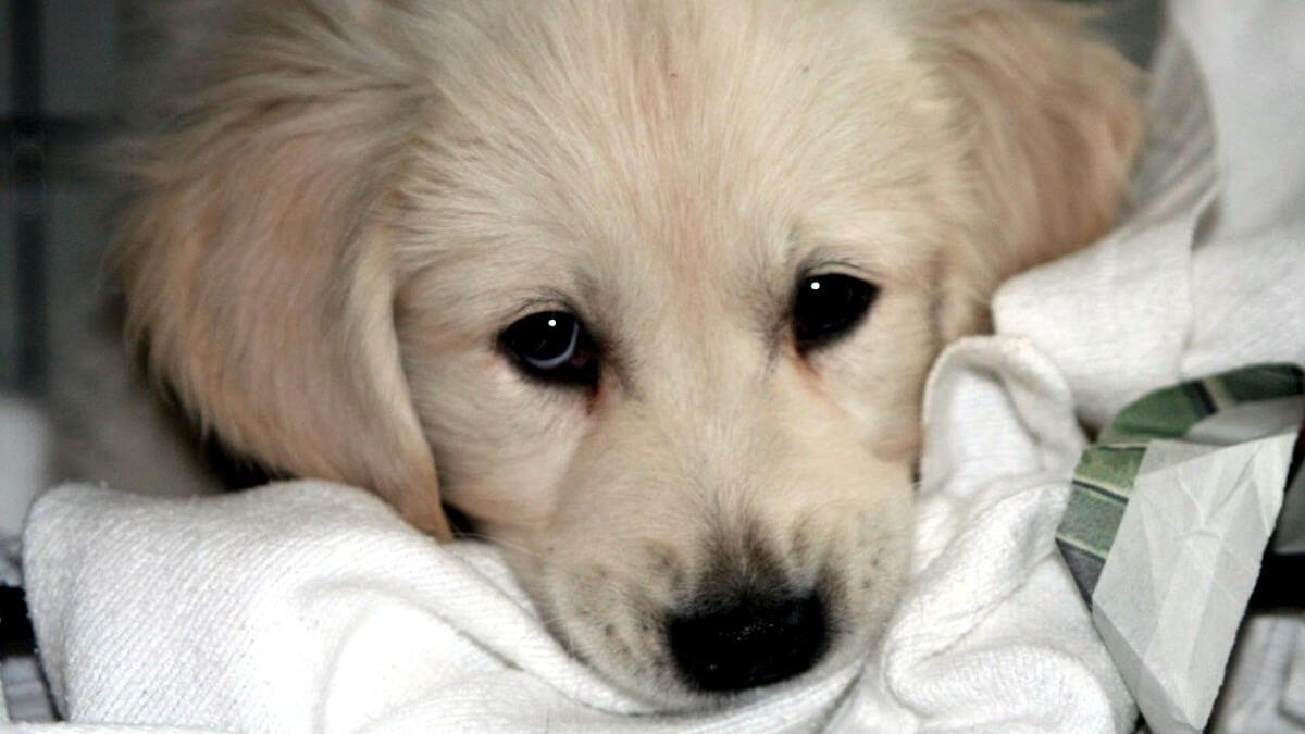 NVWA faalt bij aanpak malafide hondenhandel