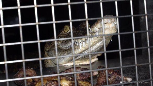 Schokkende beelden van Australische krokodillenfokkerijen voor Hermès en Louis Vuitton