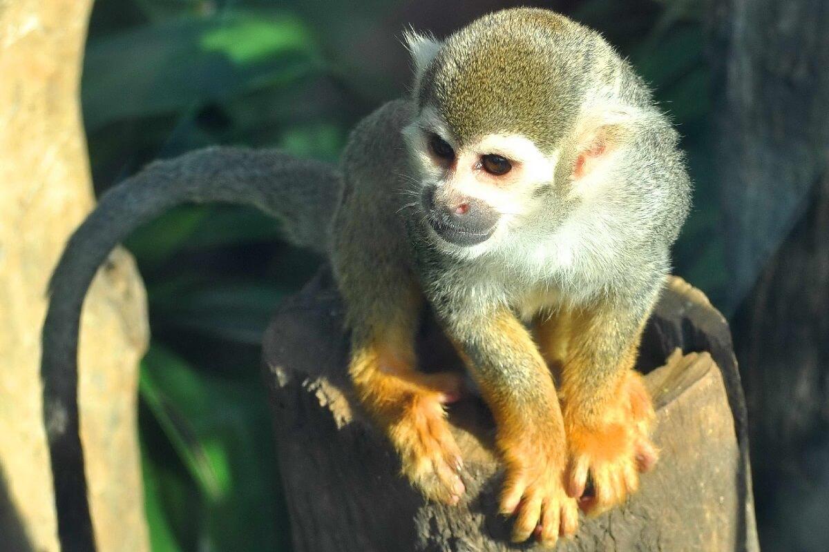 Derde aap in drie maanden gered door Born Free USA