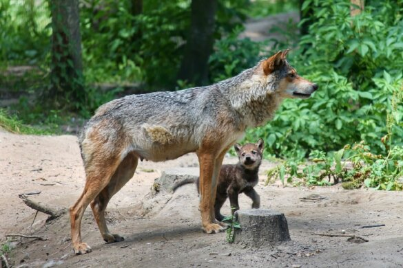 wolfjes