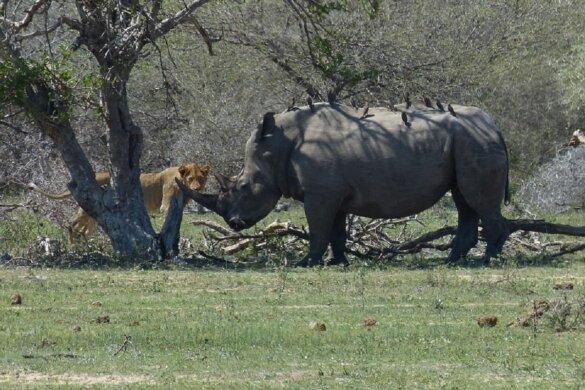 Zuidelijke witte neushoorn en leeuwin in Zuid-Afrika