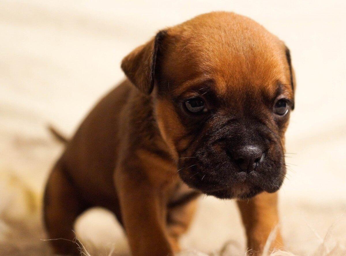 NVWA adviseert Marktplaats om puppy's uit Oost-Europa te blijven aanbieden
