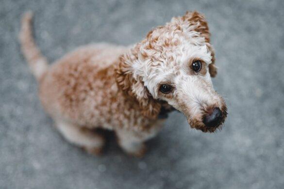 Malafide hondenhandel vrij spel door nieuwe regelgeving