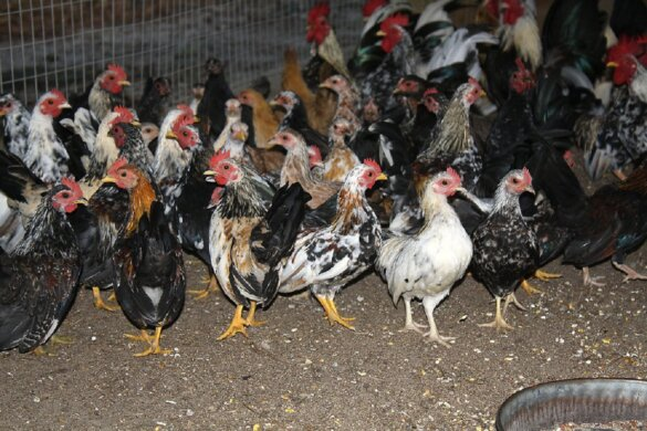 Vogelgriep in Zeewolde, landelijke ophokplicht pluimvee