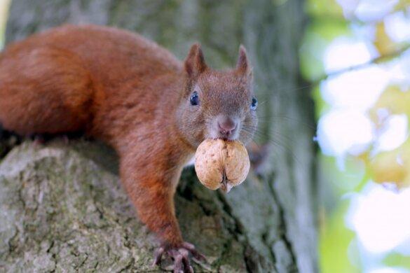 Rode eekhoorn met walnoot