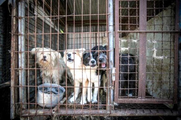 Vleeshonden in Zuid-Korea