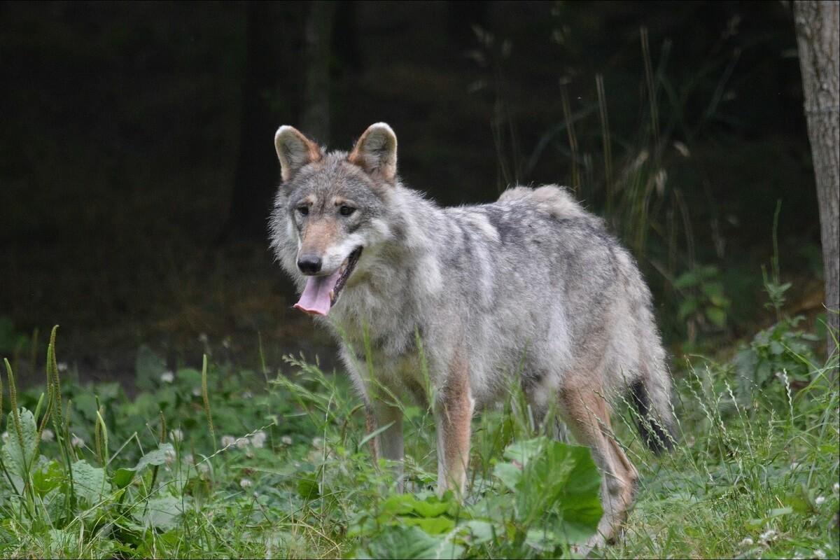Dode wolf bij Stroe blijkt doodgeschoten