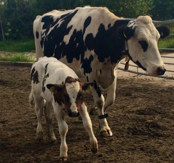 melveehouderij koe