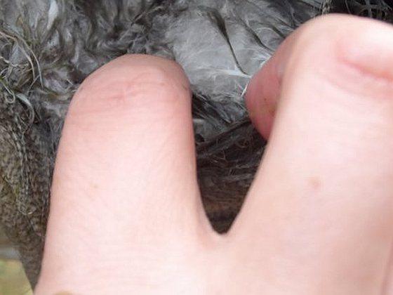 Gewonde gans ganzenjacht