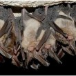Vleermuizen hebben 'stoorzender'
