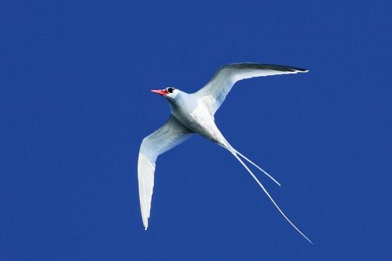 roodsnavelkeerkring vogel