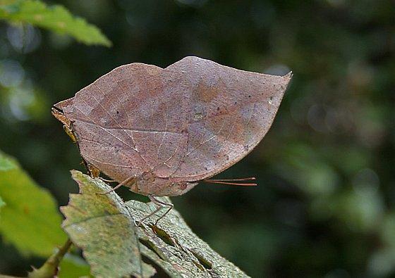 Indiase bladvlinder