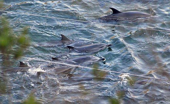 Taiji dolfijnen